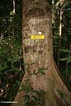 Meranti (Shorea) tree, a value timber species