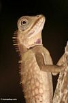 Close up of Mountain Horned Dragon lizard (Acanthosaurus armata) found in the wild