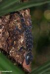Green-eyed gecko (Gecko stentor) -- malaysia0434a