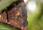 Green-eyed gecko (Gecko stentor) -- malaysia0439a