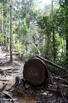 Canopy tree felled in Taman Negara national park