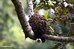 Bee hive in the rainforest canopy