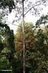 Rainforest canopy -- malaysia0483