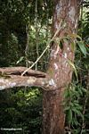 Seedling sprouting out of tree hollow in the rainforest canopy
