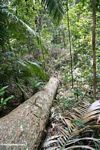 Tree fall in the Malaysian rain forest