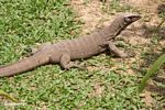 Small water monitor lizard taking in the sun on the grass