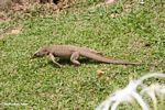 Varanus salvator monitor lizard on the move