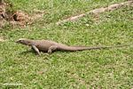 Varanus salvator monitor lizard running across a lawn