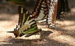 Colorful butterflies feeding on minerals on a river beach -- malaysia0585