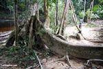 Long buttress root