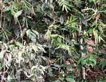 Serow or Kambing gurun (Capricornis sumatrensis) hidden in vegetation