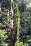 Vines climbing a tree stump along the Tahan River