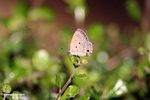 Skipper butterfly on leaf -- malaysia0836
