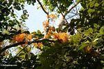 Bright orange cauliflorous 'Janus' flowers