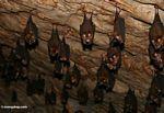 Bats in a Malaysian limestone cave