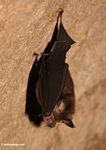 Insect-eating bat in rain forest cave