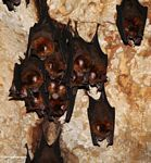 Bats hanging from the ceiling of a limestone cave in Malaysia