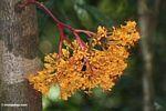 Bright orange cauliflorous flowers (close up)