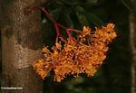 Bright orange cauliflorous flowers growing out of the trunk of a rain forest tree