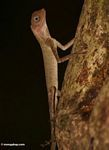 Blue-eyed lizard in the Malaysian jungle