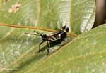 Black grasshopper with yellow markings