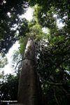 Giant canopy tree