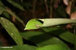 Rain forest spider that has constructed a nest by rolling a plant leaf