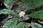 White flowers of a rain forest shrub