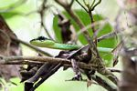 Green vine snake in Malaysia