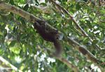 Red forest squirrel -- malaysia1049