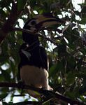 Pied hornbill in canopy tree