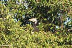 Pied hornbill in canopy