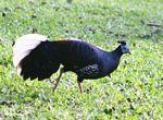 Male Great Argus Pheasant (Argusianus argus) on grass