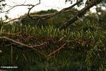 Epiphyes growing on tree limb -- malaysia1146