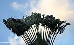 Traveler's palm on grounds of Taman Negara resort
