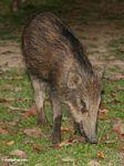 Wild boar in Malaysia -- malaysia1157