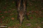 Wild boar in Malaysia -- malaysia1159