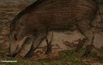 Wild boar in Malaysia -- malaysia1161