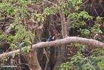 Stork-billed Kingfisher (Pelargopsis capensis) along the Tembeling River