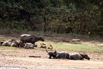 Cattle on a beach of the Tembeling River -- malaysia1224
