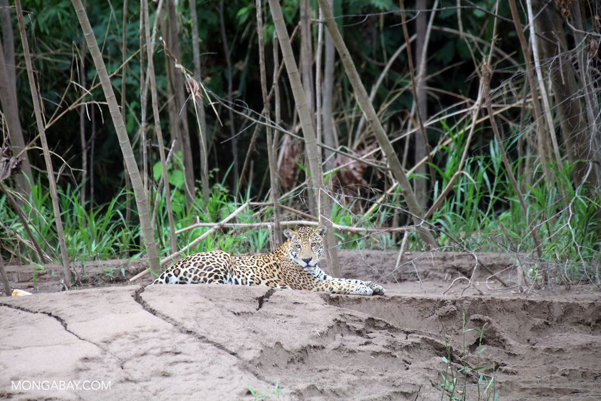 Jaguar along the Tambopata River. Photo by Rhett A. Butler